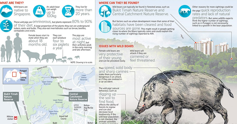 wildsingapore news all about wild boars in singapore