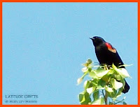 close-up of a redwinged-blackbird, high on a tree