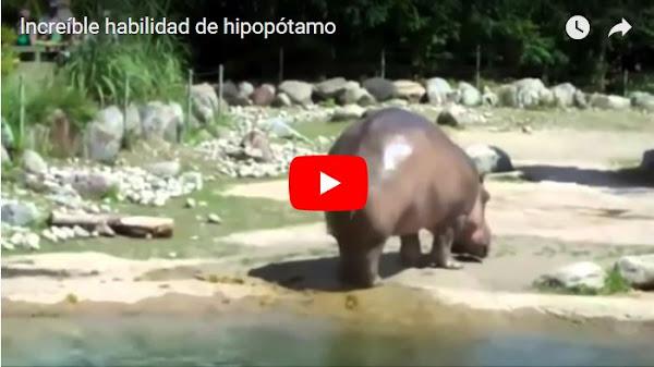 Un Hipopótamo se tira un Pedo con un gran premio.