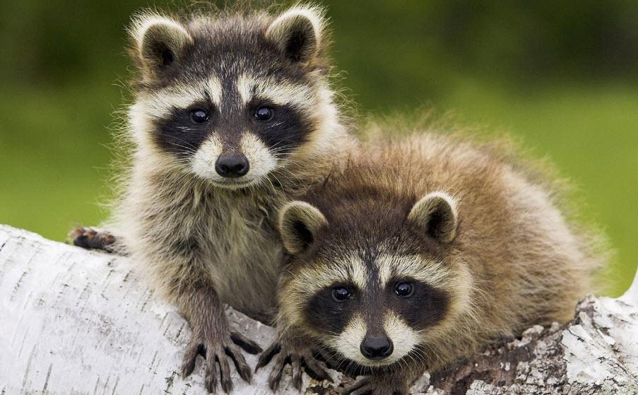 Animal You: Raccoon Raccoon Face