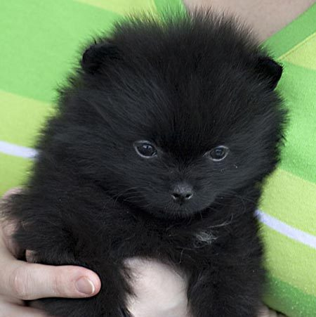 Cute Puppy Dogs: black and white pomeranian puppies