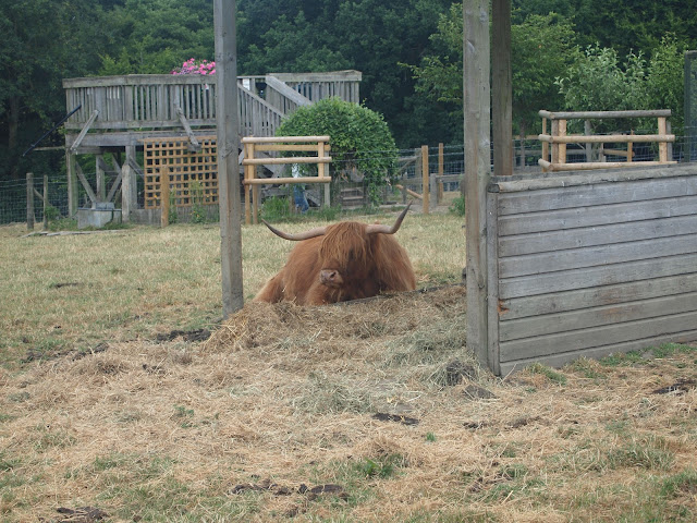 Godstone Farm, Surrey Review - Highland Cow