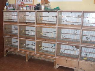 Beternak Kenari masih menjadi primadona dalan perjuangan beternak Kabar Terbaru- CARA MEMBUAT KANDANG TERNAK KENARI