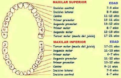 Dibujo del diente indicando sus nombres
