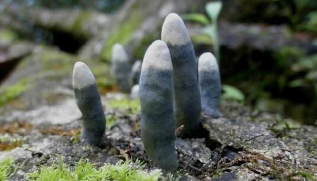 Berikut Lima Jenis Jamur Yang Memiliki Bentuk Paling Aneh Dan Menyeramkan