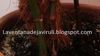 sustrato-begonia-lucerna