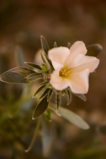 small sunny garden, desert garden, amy myers, photography, about the garden, plant selection, convolvulus cneorum, bush morning glory