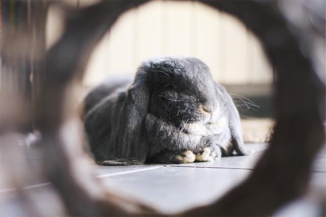 Sherlock, lapin belier geant au coeur tendre