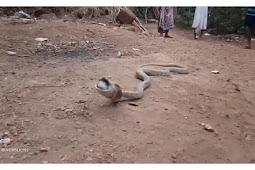 Kobra Tersedak Muntahkan Isi 'Mangsanya' yang Bikin Terkejut