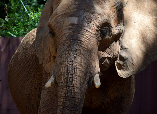 African Elephant | Zoo Atlanta | Photo: Travis S. Taylor