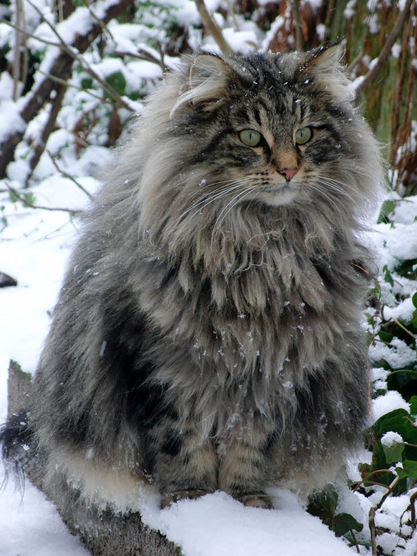 If You Think Your Cat Is Big, You Should See These Huge Maine Coon Cats