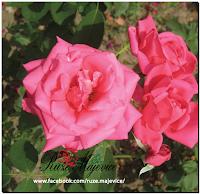 Rakija od ružinih latica