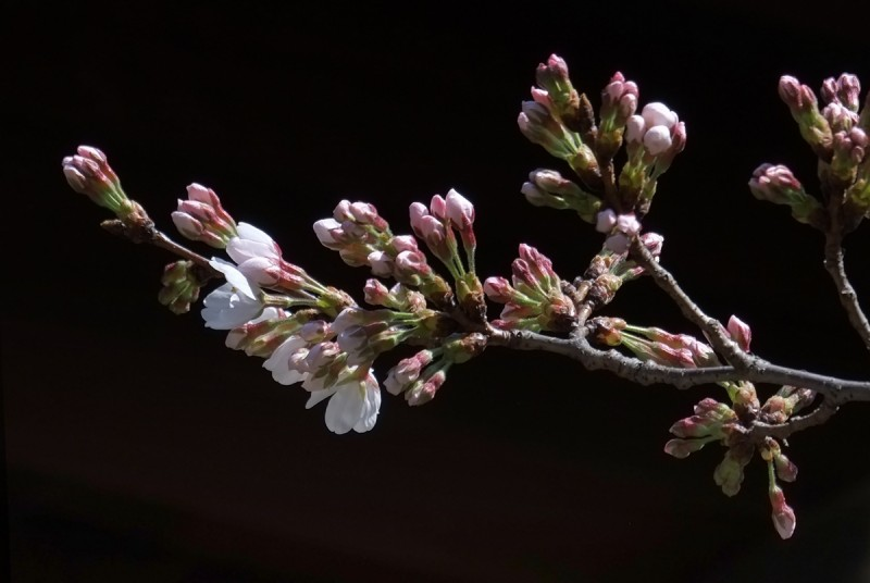 Warm temperatures in late February and early March hastened the growth of buds.