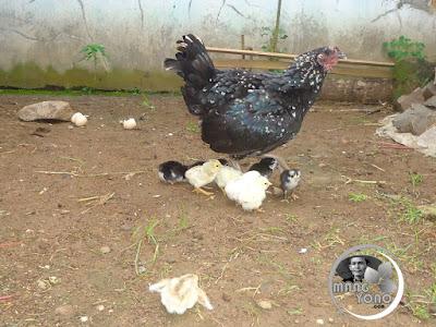 Arti Mimpi melihat anak ayam dan induknya
