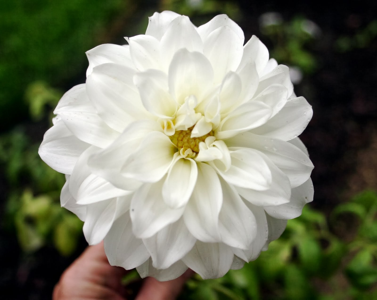 White Dahlia Flowers Wallpapers | Beautiful Flowers Wallpapers