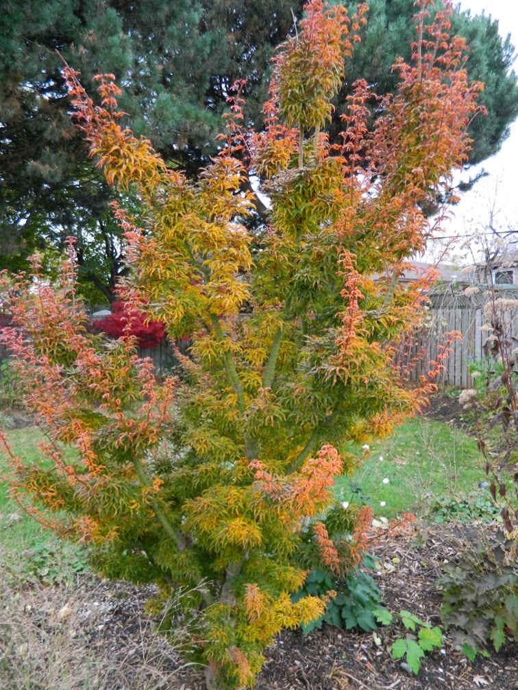 Acer palmatum Shishigashira Lion's Head Japanese maple autumn colour by garden muses-a Toronto gardening blog