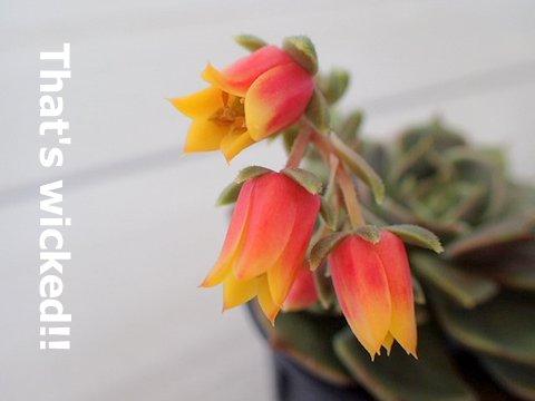 多肉 エケべリア ブラウンローズ 花