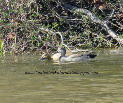 A male and female Gadwall ducks sit together in a muddy brown pond