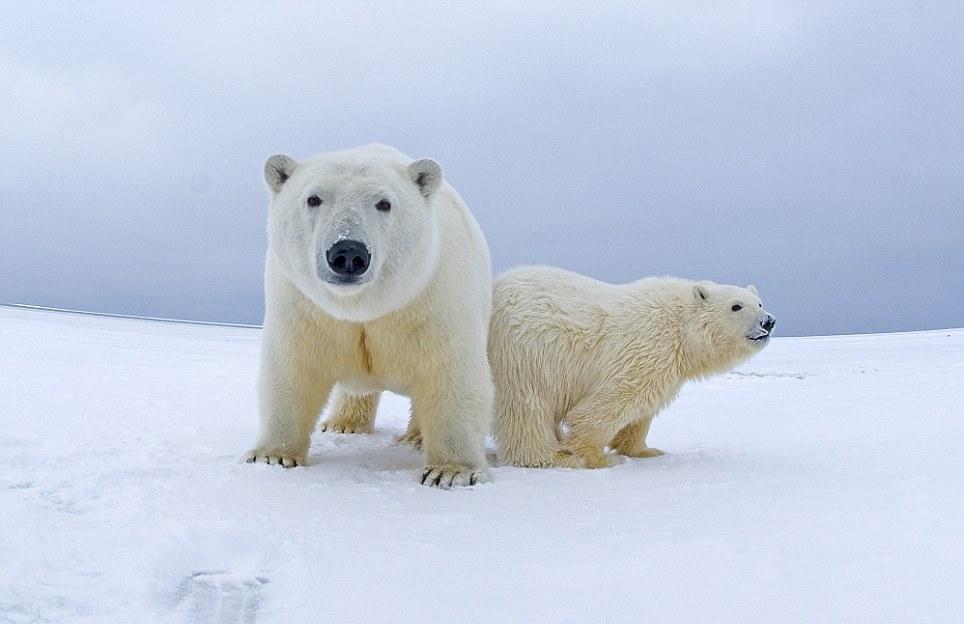 الدببة القطبية 0_94f11_9e9835cc_ori
