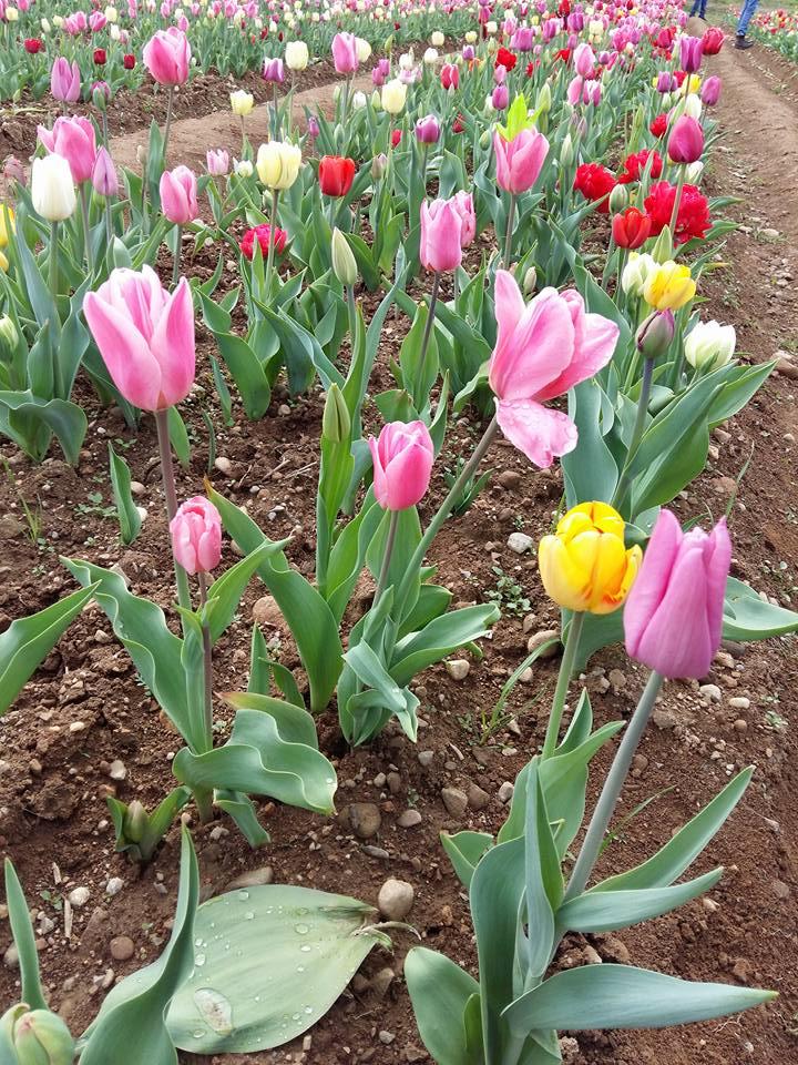 Tulipani italiani torna il grande prato fiorito a for Tulipani italiani