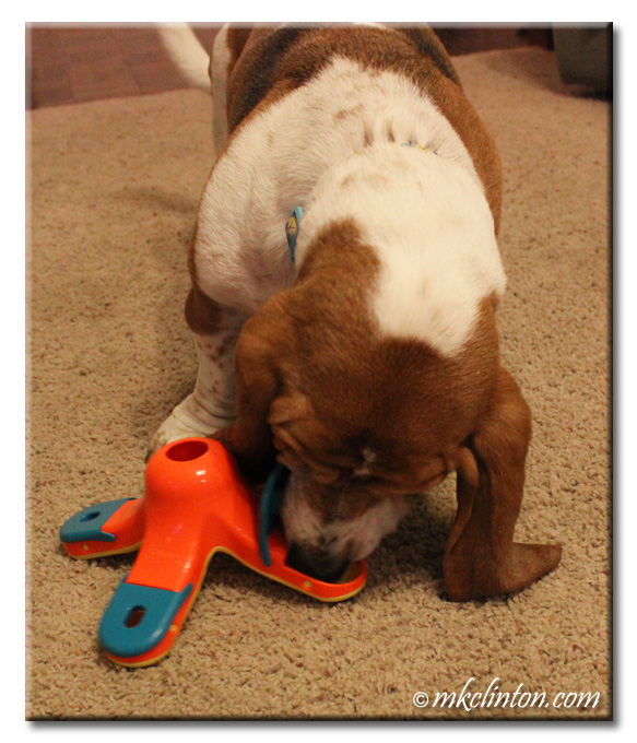 Basset Hound eating kibble from interactive toy chamber
