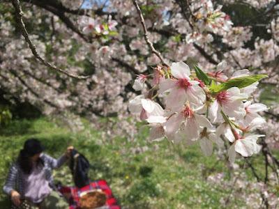 2016年の東京都文京区の桜