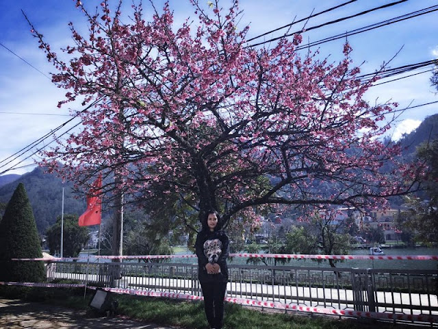 Japanese cherry blossoms blooming beautifully at the foot of Fansipan mountain