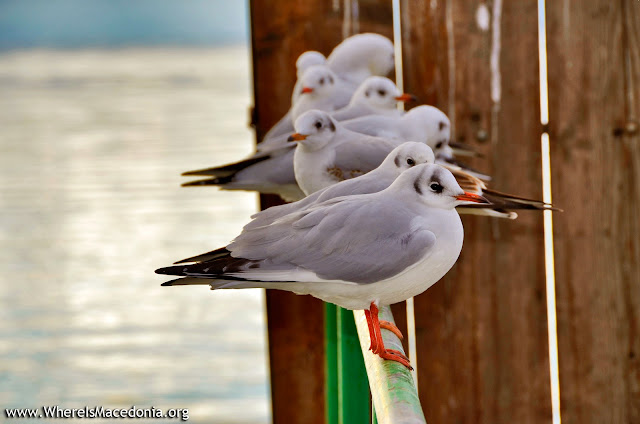 Gulls - Ohrid Lake, Macedonia
