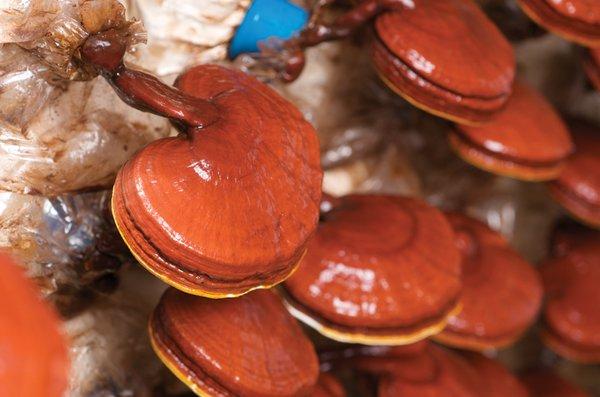 nấm linh chi có phải là một vị thuốc trường sinh