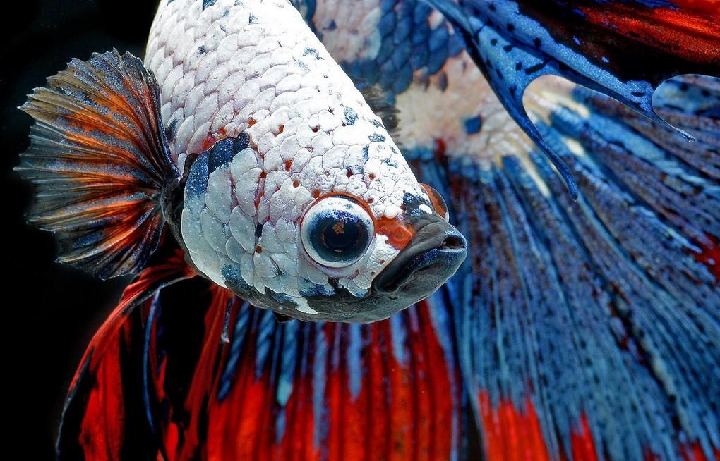 ikan bitte Tips Sederhana Merawat Ikan Cupang Petarung dan Hias