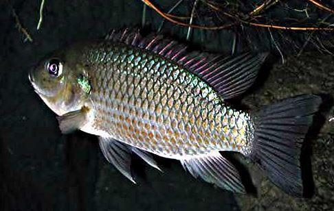 Cara Tradisional Mengobati Ikan yang Terkena Penyakit