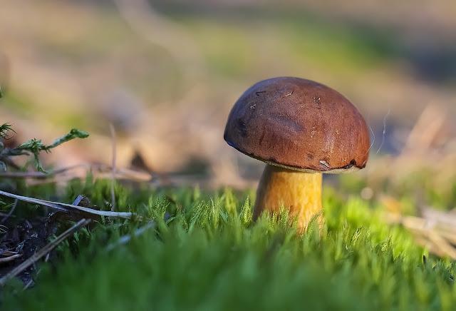 grzyb-grzyby-podgrzybek-brunatny