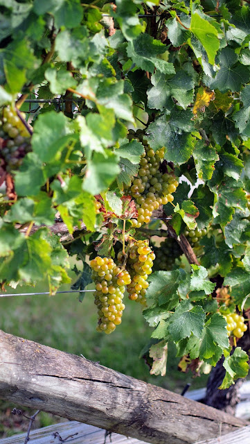 Grapes on the vine in Marlborough New Zealand