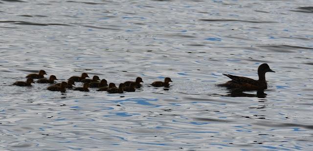 Lakefront Hotel Anchorage ducks