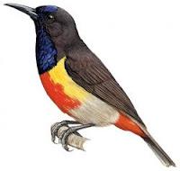 burung madu kolibri