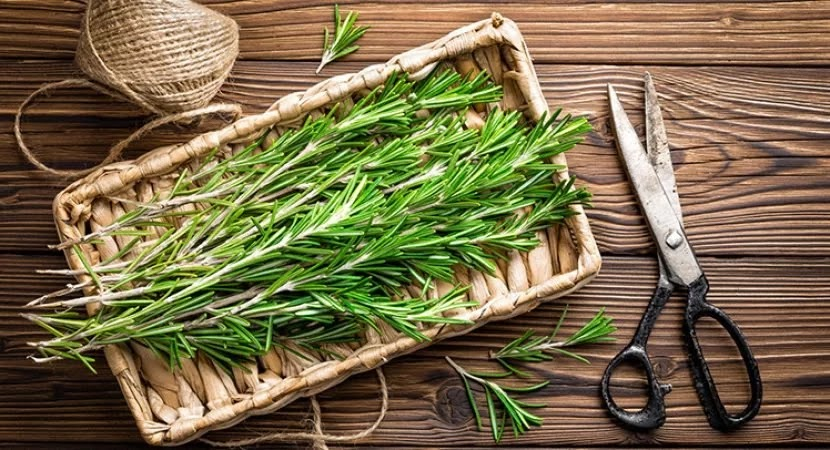 Alecrim e suas propriedades preventivas -  Esta erva pode salvar sua vida