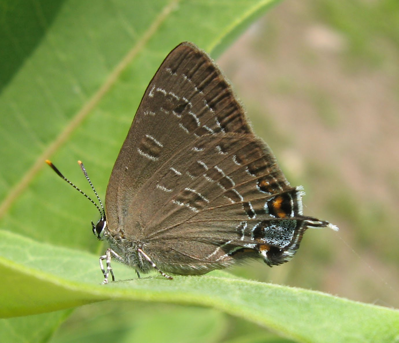 Gray Caterpillars That Are Big: Tangled Web: Look-alike Leps, A Carnivorous Caterpillar