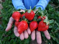 Tips dan Cara Mudah Membudidayakan Strowberry