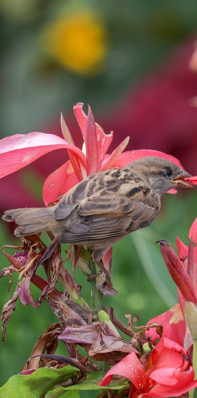 A sparrow on some red flowers.