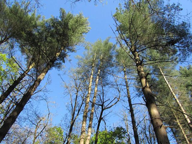 Bosco Pinus strobus