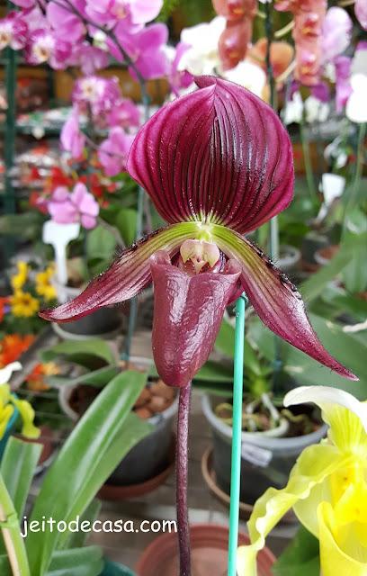 orquidea- sapatinho holandes-vinho