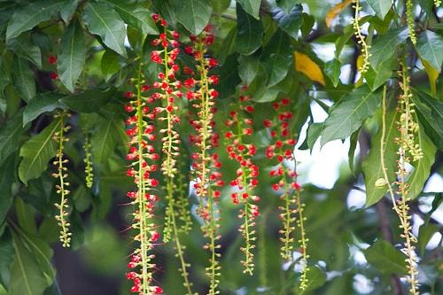 Chữa bệnh xương khớp, tiêu hóa, hô hấp bằng những loại cây làm cảnh