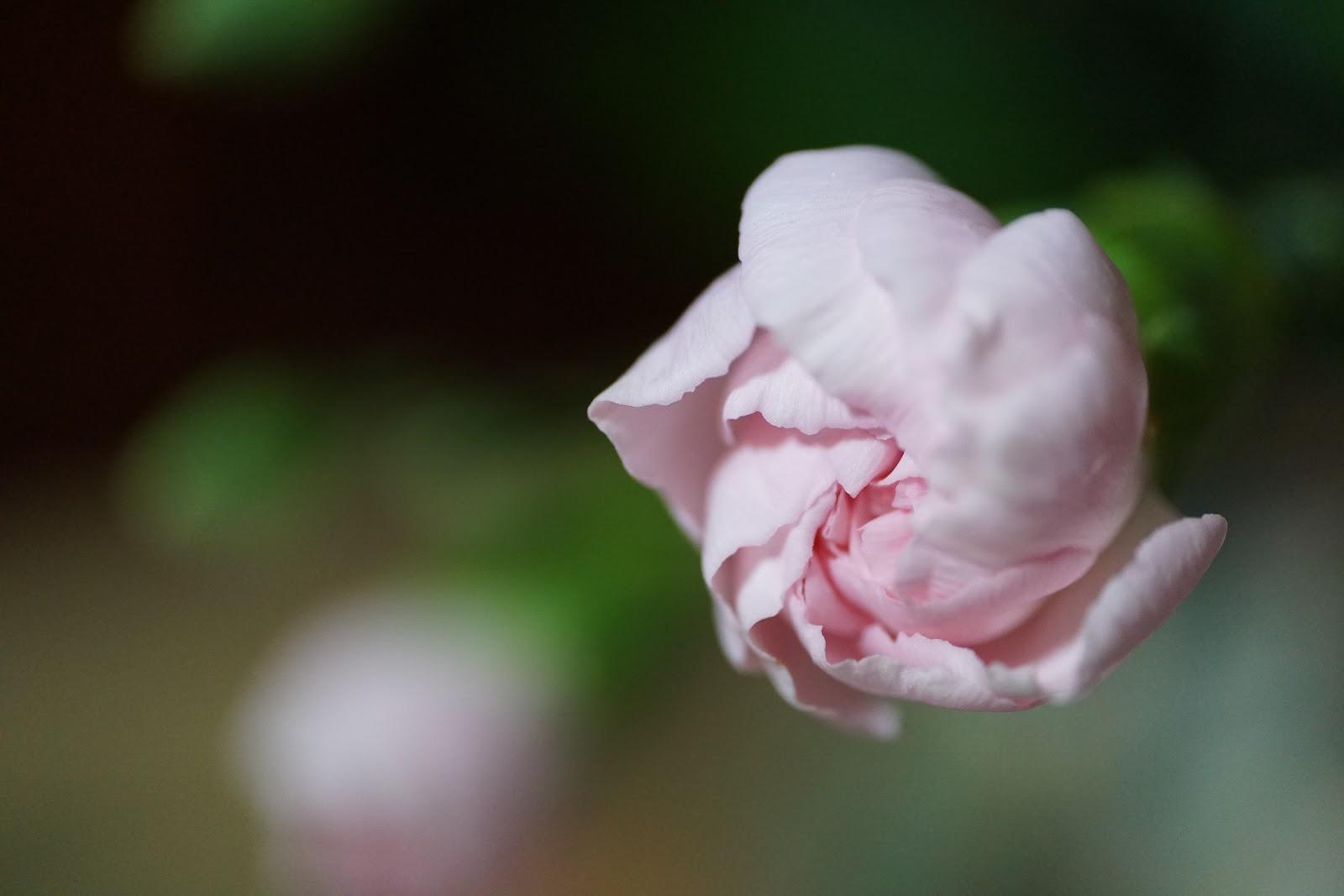 淡いピンクの花の蕾