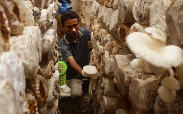 Bisnis Budidaya Jamur Tiram, Langsung Balik Modal Dan Untung Ketika Panen