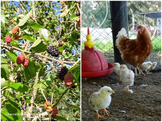 Moras maduras / Gallina y pollitos en el gallinero - Chacra Educativa Santa Lucía