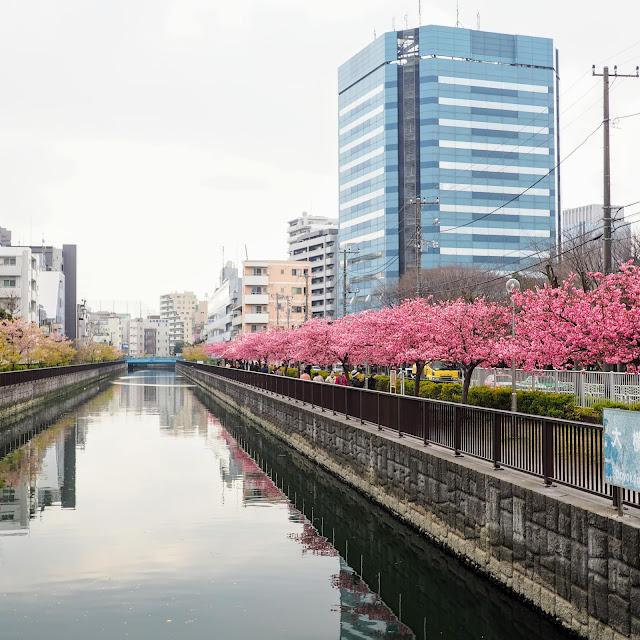 木場公園 大横川 河津桜 寒緋桜