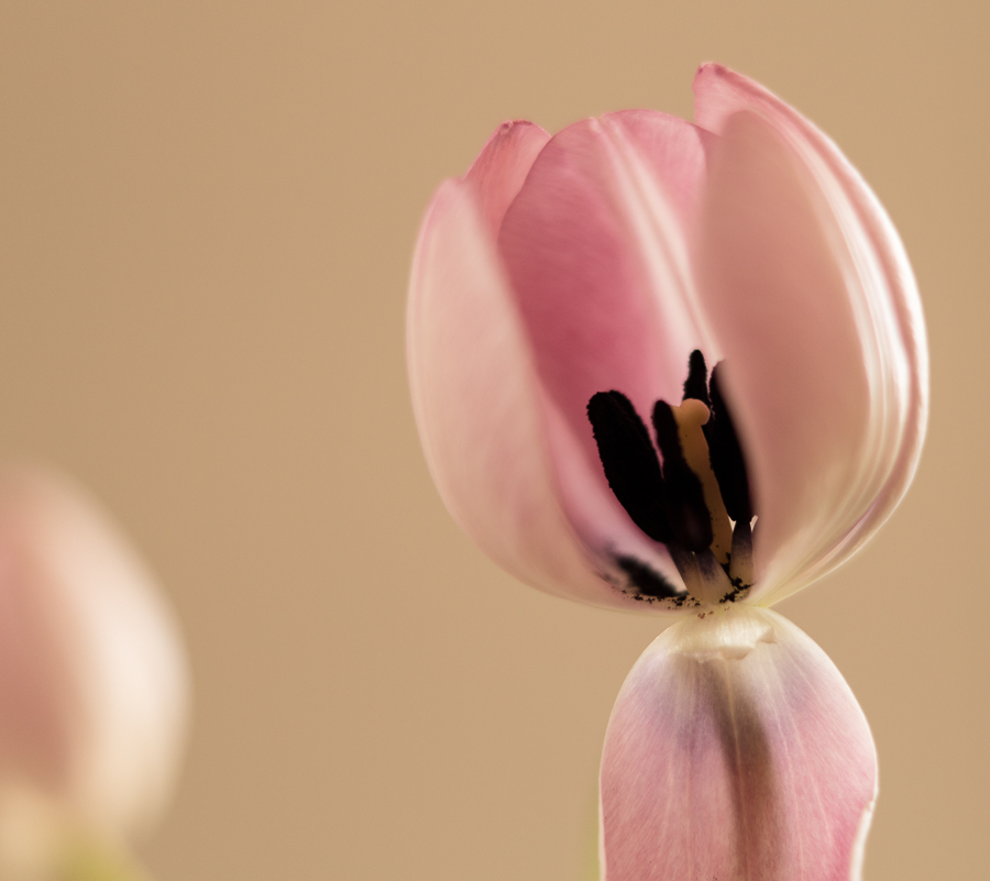 Blog + Fotografie by it's me! | fim.works | rosafarbene Tulpe