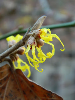 Arnold Promise witch hazel blooms by garden muses-not another Toronto gardening blog