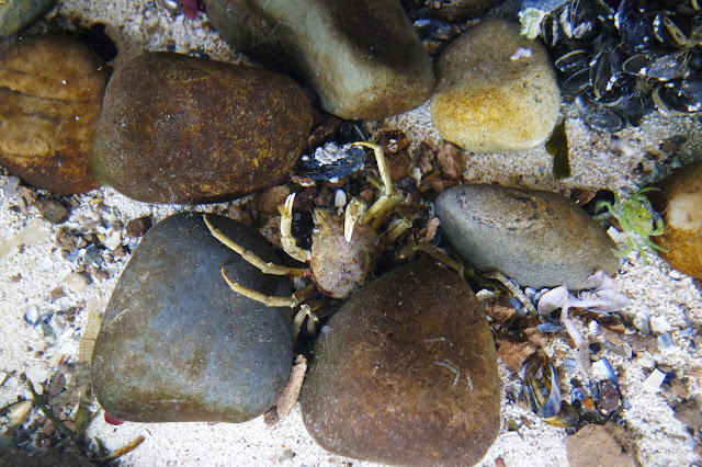 small green crab in rockpool