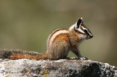 Lodgepole Chipmunk